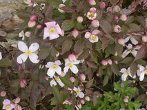 Flores de la clemátide, Crookham, Northumberland Reino Unido Foto de archivo