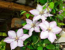 Flores de la clemátide flora Imagen de archivo libre de regalías