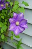 Flores de la clemátide púrpura en el jardín Fotos de archivo