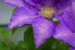 Flores de la clemátide púrpura en el jardín Imágenes de archivo libres de regalías