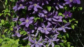 Flores de la clemátide púrpura que se sacuden con el viento debajo del sol brillante metrajes