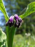 Flores de la consuelda Imagenes de archivo
