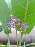 Flores de la corona imagenes de archivo