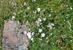 Flores de la coronaria del mar blanco imagen de archivo
