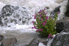 Flores de la corriente del glaciar de la montaña foto de archivo libre de regalías