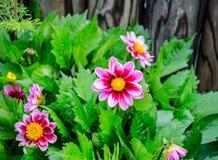 Flores de la dalia cerca de la pared de madera Fotografía de archivo