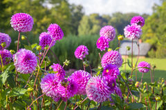 Flores de la dalia de la lila Fotografía de archivo libre de regalías