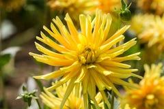 flores de la dalia en jardín Fotos de archivo libres de regalías