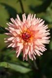 flores de la dalia en jardín Fotografía de archivo