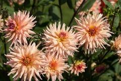 flores de la dalia en jardín Fotos de archivo