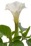 Flores de la datura Foto de archivo libre de regalías