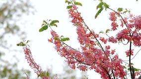 Flores de la ducha rosada almacen de metraje de vídeo