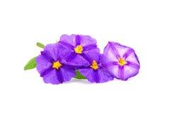 Flores de la enredadera de la patata Imagen de archivo libre de regalías
