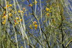 Flores de la espina de Jerusalén Fotografía de archivo libre de regalías