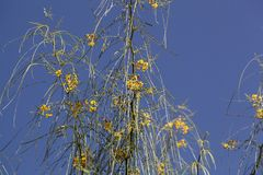 Flores de la espina de Jerusalén Imagen de archivo