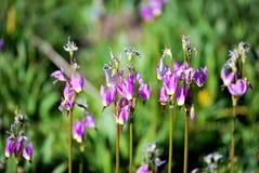 Flores de la estrella fugaz Fotos de archivo
