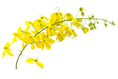 Flores de la fístula de la casia o de la ducha de oro en blanco Imagen de archivo