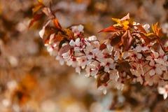 Flores de la flor de cerezo Foto de archivo