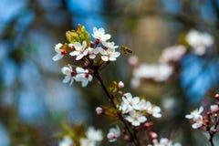 Flores de la flor de cerezo Imagenes de archivo