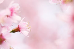 Flores de la flor de cerezo de Sakura Foto de archivo