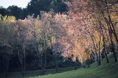 Flores de la flor de cerezo de Sakura Imagen de archivo libre de regalías