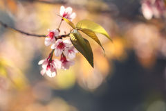 Flores de la flor de cerezo de Sakura Fotos de archivo libres de regalías