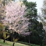 Flores de la flor de cerezo de Sakura Imágenes de archivo libres de regalías
