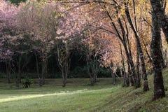 Flores de la flor de cerezo de Sakura Fotos de archivo