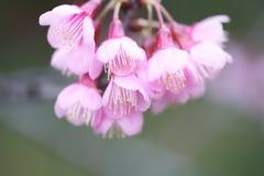 Flores de la flor de cerezo de Sakura Imagenes de archivo