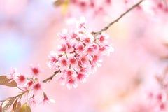 Flores de la flor de cerezo de Sakura Fotografía de archivo
