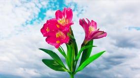 Flores de la flor del Alstroemeria, time lapse almacen de video