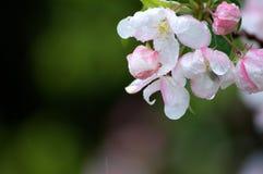 Flores de la flor rosada y blanca en la lluvia foto de archivo libre de regalías