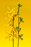 Flores de la forsythia de la primavera en fondo amarillo Imagen de archivo libre de regalías