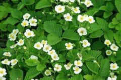 Flores de la fresa Imagen de archivo libre de regalías