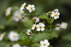 Flores de la fresa Foto de archivo libre de regalías