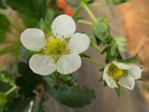 Flores de la fresa Imagenes de archivo