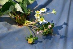 Flores de la fresa Foto de archivo