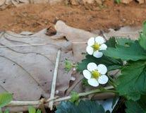 Flores de la fresa en el campo Fotografía de archivo libre de regalías