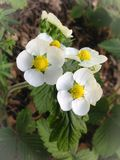 Flores de la fresa salvaje fotografía de archivo
