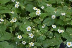Flores de la fresa salvaje Imagen de archivo libre de regalías
