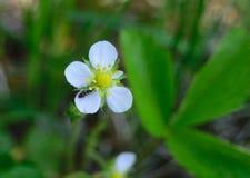 Flores de la fresa y de una hormiga Fotos de archivo