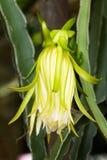Flores de la fruta del dragón. Fotos de archivo