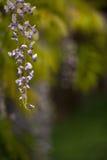 Flores de la glicinia en el jardín Imagen de archivo