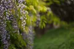Flores de la glicinia en el jardín Fotos de archivo