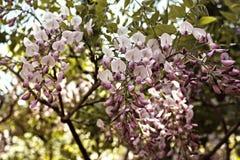 Flores de la glicinia en la floración en la primavera imagen de archivo
