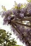 Flores de la glicinia en la floración en la primavera fotos de archivo