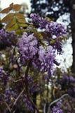 Flores de la glicinia en la plena floración imagen de archivo