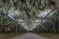 Flores de la glicinia en primavera fotos de archivo libres de regalías
