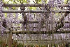 Flores de la glicinia que cuelgan de un enrejado fotos de archivo