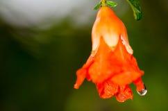 Flores de la granada Imagenes de archivo